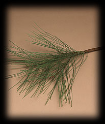 White Pine Spray Boyds Bear
